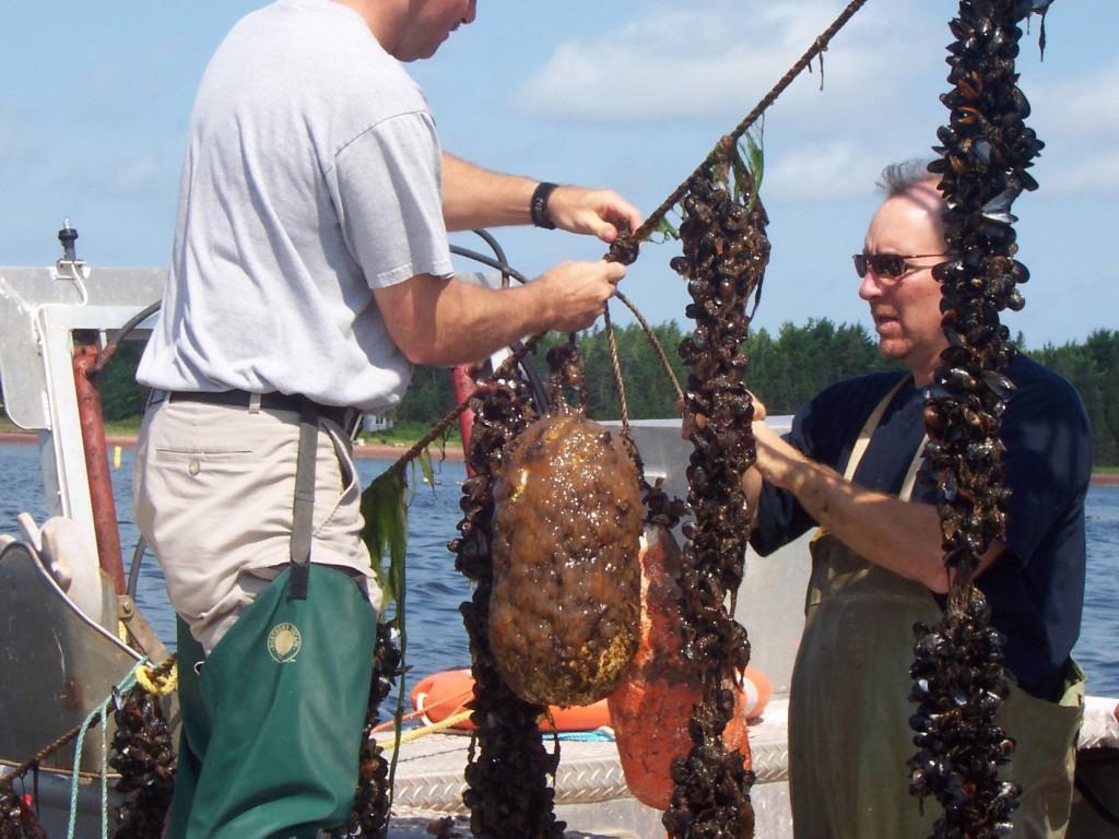 farm raised mussels