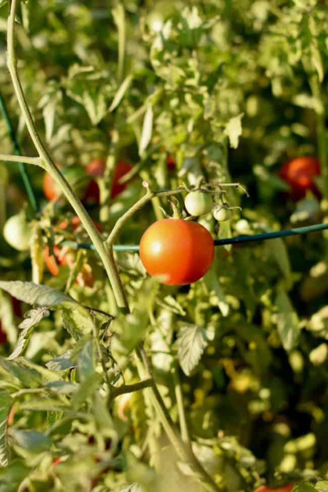 a tomato on the vine for smoky eggplant tomato soup