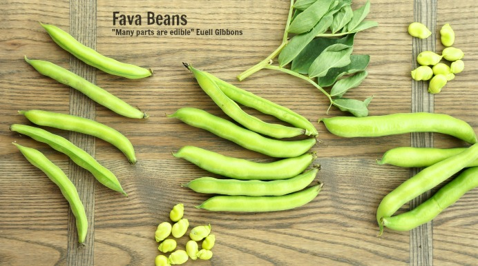 All about - Fava Beans