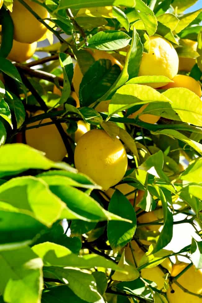 a branch of fresh lemons waiting to be picked and used in Braised Lemon Fennel Chicken Thighs
